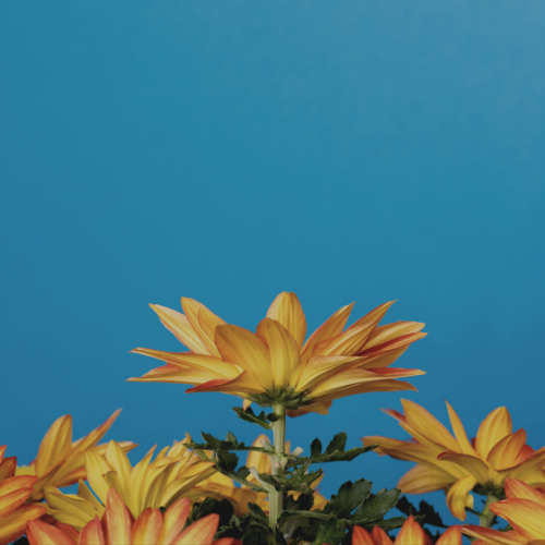 Orange flowers with blue sky